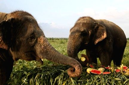 FEAST FOR JUMBOS ON ELEPHANT APPRECIATION DAY.