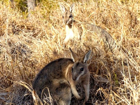 File photo taken on Sept. 26, 2018 shows bridled nailtail wallabies at the Avocet Nature Refuge in central Queensland, Australia.