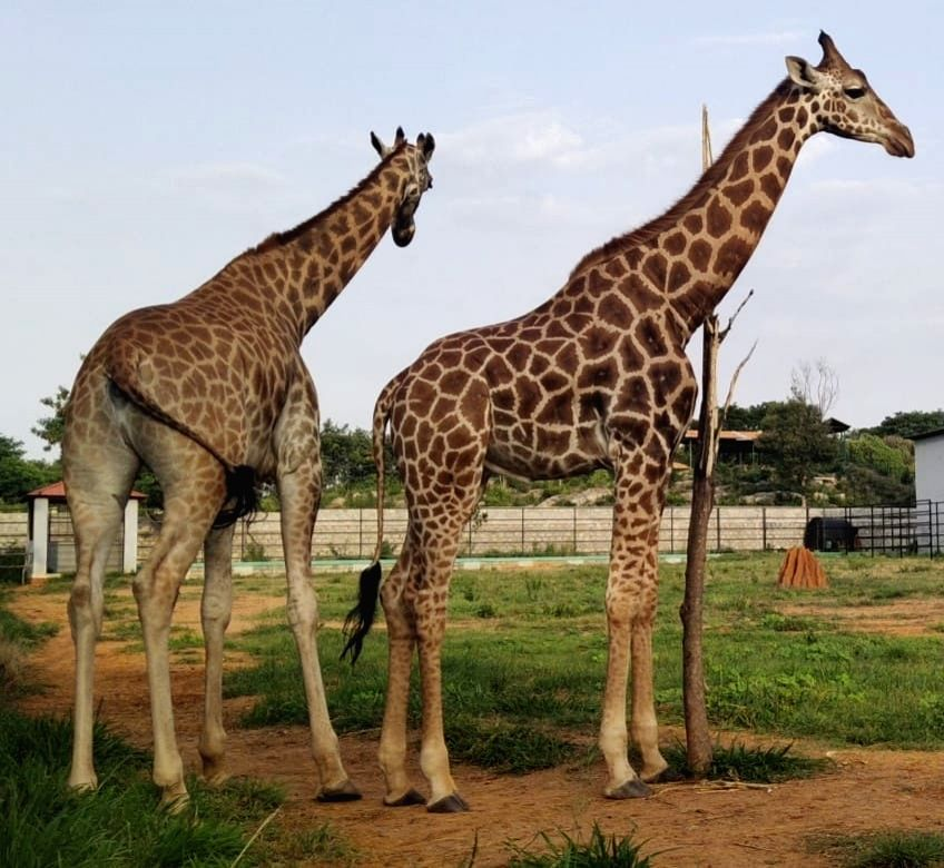 First giraffe in Bengaluru Zoo adopted by ex-IAF officer.