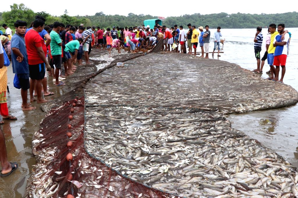 Fishermen gather fish from the bumper catch found through their traditional method of fishing called 'Raampon' at Caranzalem Beach, in Goa on July 30, 2018.