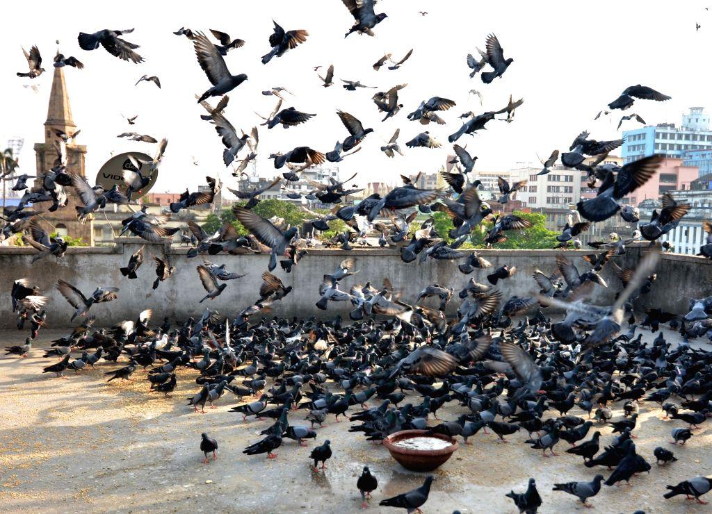 Flock of pigeons in Kolkata, on May 1, 2019.