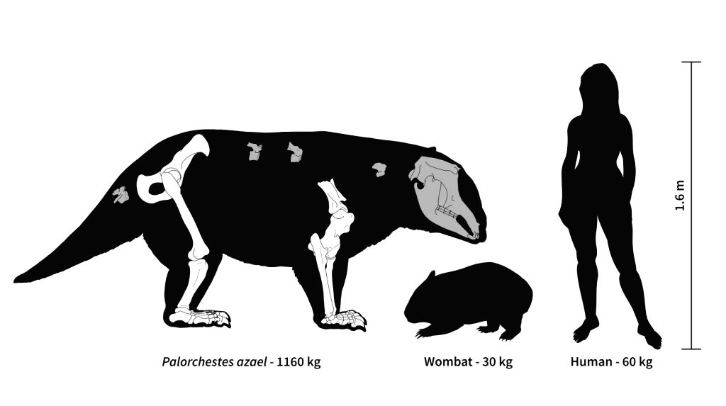 For most of the last 25 million years, eastern Australia was home to a now-extinct group of marsupials called palorchestids that had strange bodies and lifestyles unlike any living species, new ...