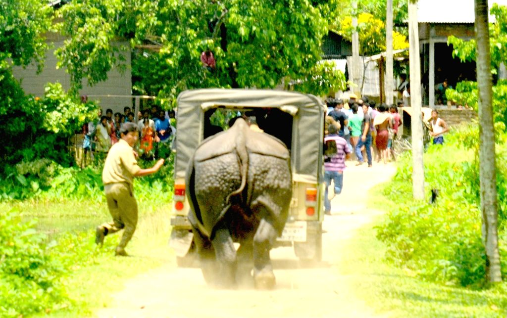 Forest officials drive away a rhino which strayed away from Kaziranga National Park in Tezpur of Assam on June 25, 2016.