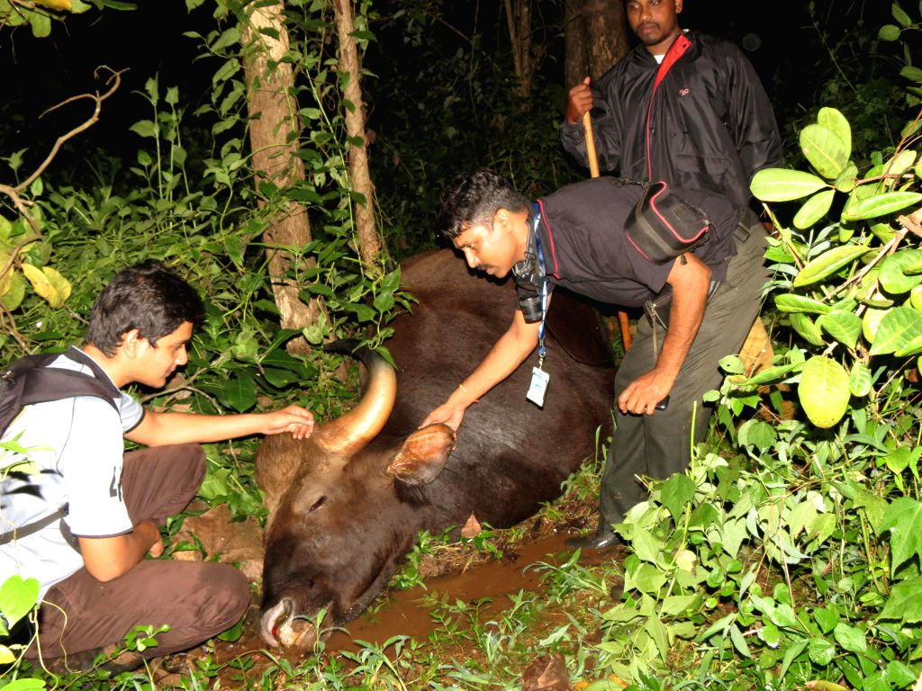 Forest officials inspect a carcass of bison, reportedly killed by poachers in the woods of Harlarna Pednem near Panaji on Sept 10, 2014. Bodies of two bisons were found on Tuesday night.