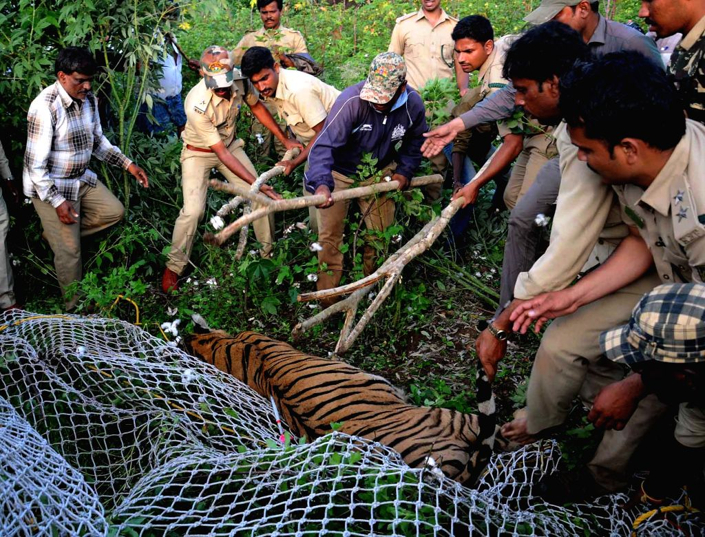Forest officials rescue a tigress from a village in Mysuru district's Antarasante on Oct 10, 2017.