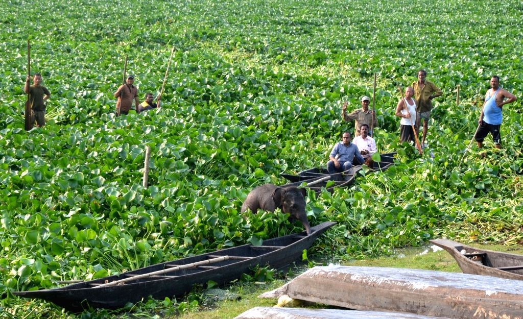 Forest officials with the help of locals try to chase away a baby elephant into the forest after it got stuck in the marshes of Deepor Beel wetland in Guwahati, on May 10, 2019.