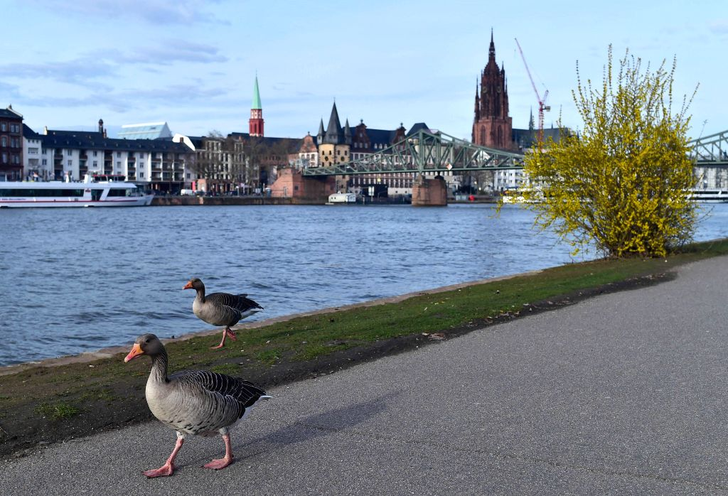 FRANKFURT, March 14, 2019 - Greylag geese walk on the bank of the Main River in Frankfurt, Germany, on March 12, 2019.