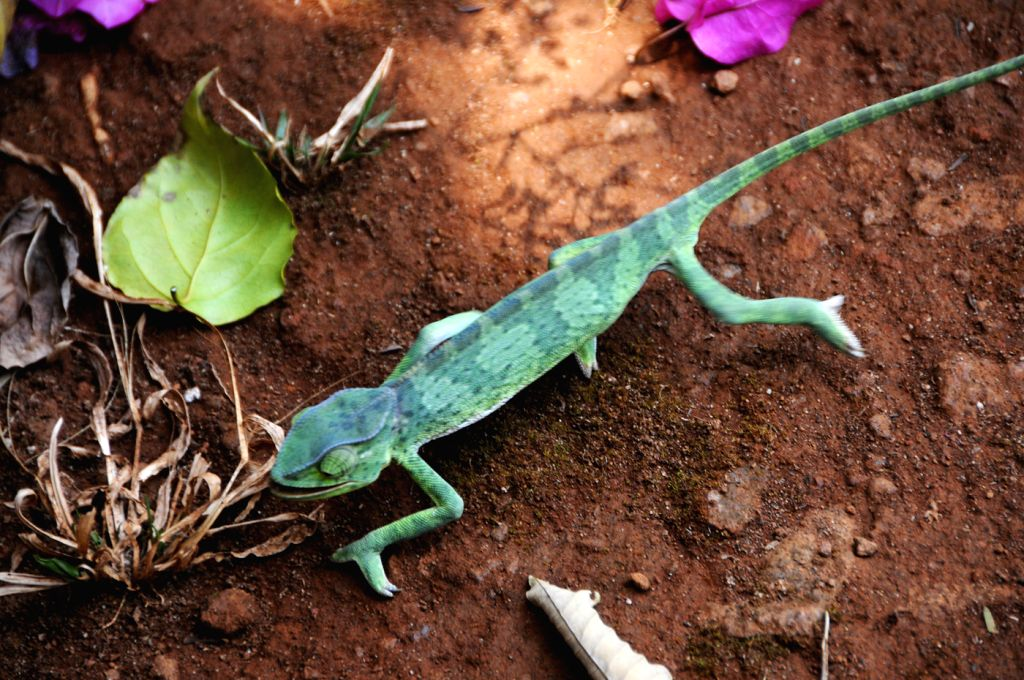A chameleon crawls in the forest of Tacugama Chimpanzee Sanctuary in Sierra Leone, April 28, 2014. Located close to Freetown, the capital of Sierra Leone, ...