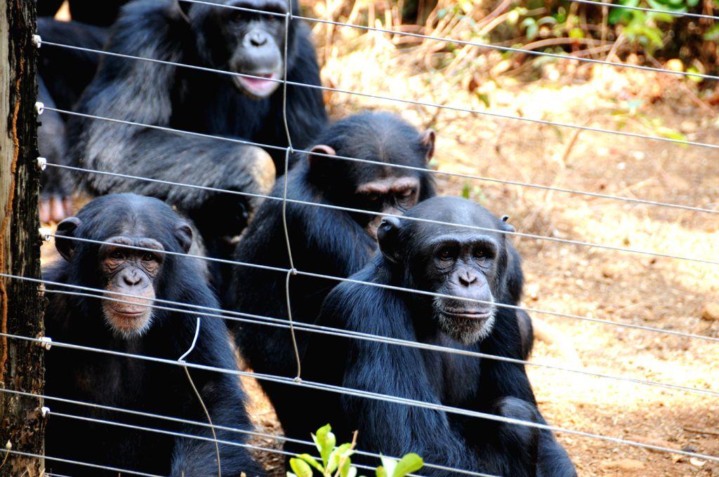 Chimpanzees wait for food in Tacugama Chimpanzee Sanctuary of Sierra Leone, April 28, 2014. Located close to Freetown, the capital of Sierra Leone, Tacugama ...