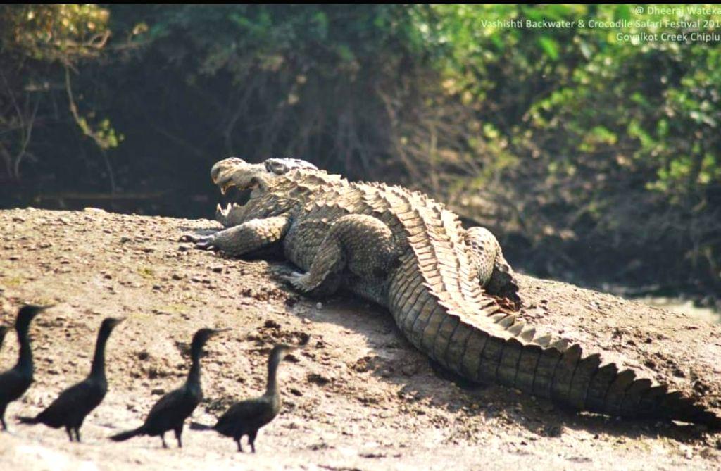 Freshwater crocodiles at 'Kokan Crocodile Safari', on the banks of Vashishti River at Maldoli village in Ratnagiri.