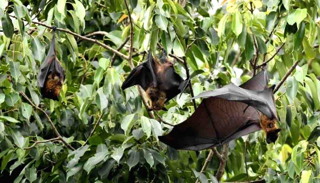 Fruit bats. (File photo: IANS)