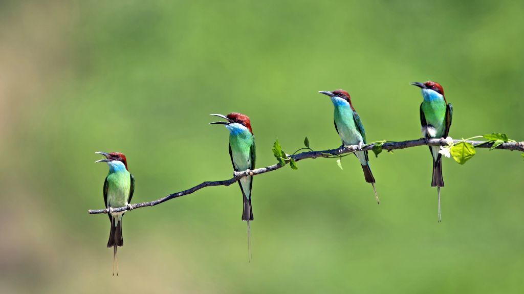 FUZHOU, June 17, 2019 - Blue-throated bee eaters are seen at Xiexi Village in Luxia Town of Nanping City, southeast China's Fujian Province, June 15, 2019.
