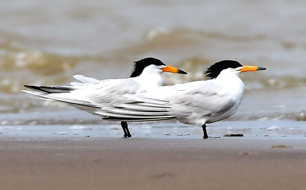 FUZHOU, May 21, 2018 - Critically endangered Chinese Lesser Crested Terns rest on the shore of an estuary where the Minjiang River meets the sea, in southeast China's Fujian Province, May 20, 2018.