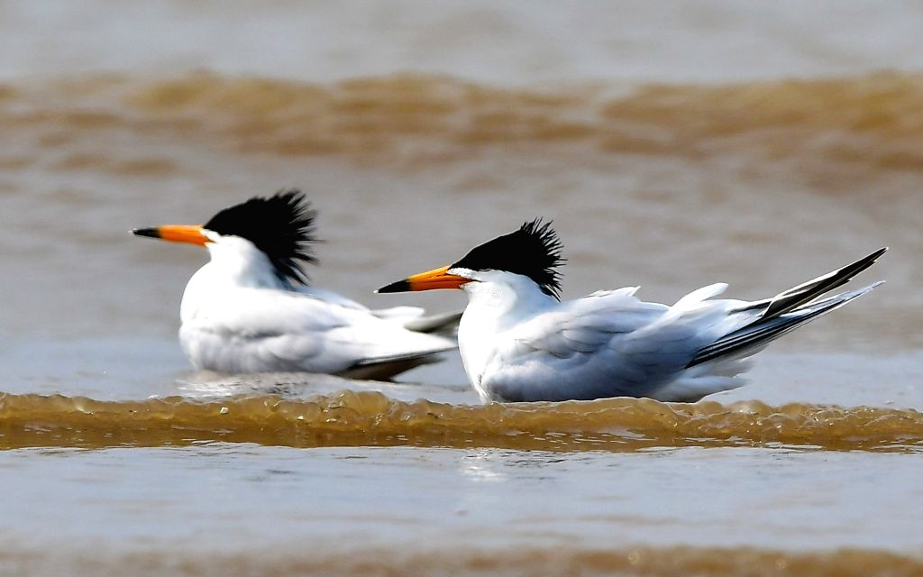 FUZHOU, May 21, 2018 - Critically endangered Chinese Lesser Crested Terns sport on the shore of an estuary where the Minjiang River meets the sea, in southeast China's Fujian Province, May 20, 2018.
