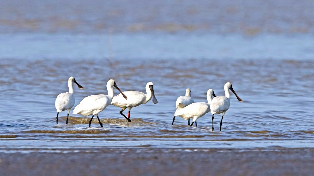 FUZHOU, May 27, 2019 - Black-faced spoonbills search for food at the Minjiangkou Wetland in Fuzhou, capital of southeast China's Fujian Province, May 23, 2019. The Minjiangkou Wetland, covering an ...