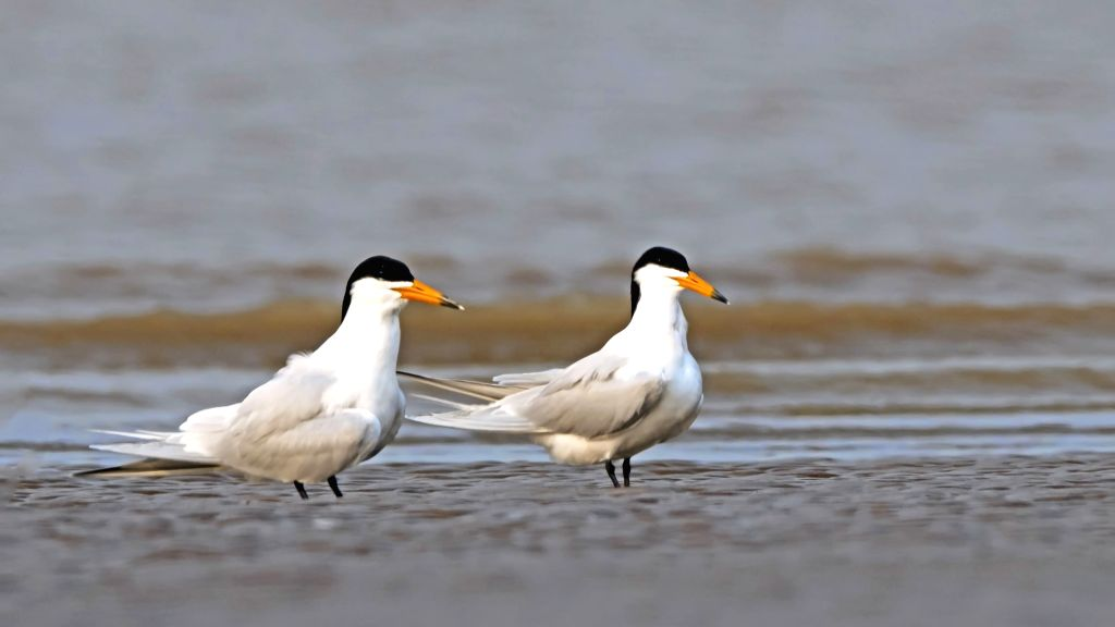 FUZHOU, May 27, 2019 - Chinese crested terns are seen at the Minjiangkou Wetland in Fuzhou, capital of southeast China's Fujian Province, April 24, 2019. The Minjiangkou Wetland, covering an area of ...