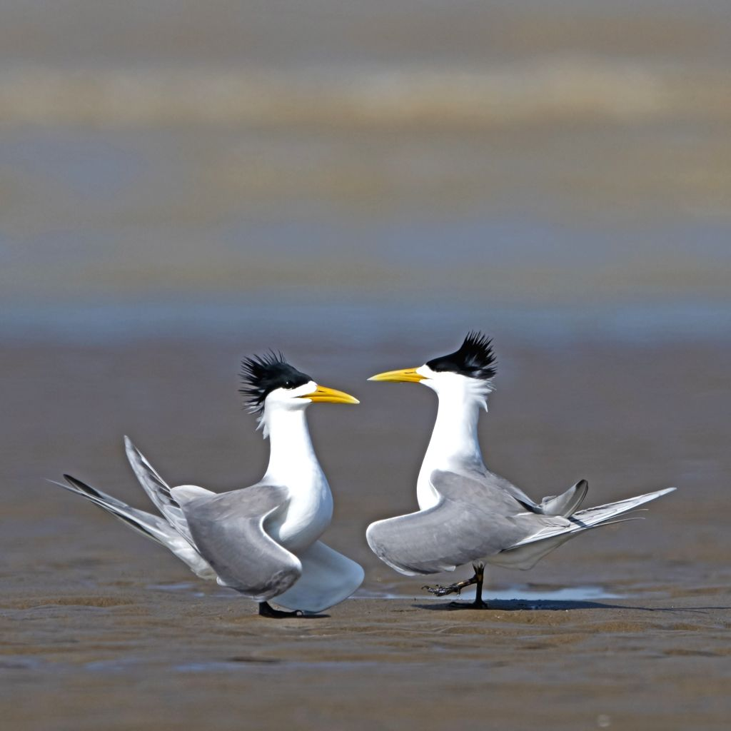FUZHOU, May 27, 2019 - Great crested terns are seen at the Minjiangkou Wetland in Fuzhou, capital of southeast China's Fujian Province, May 23, 2019. The Minjiangkou Wetland, covering an area of ...
