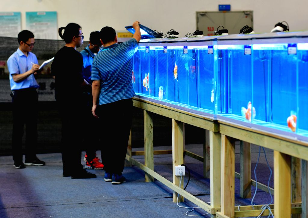 FUZHOU, May 29, 2019 - Jury and staff register and sort the competing goldfish during the 2nd international goldfish competition in Fuzhou, capital of southeast China's Fujian Province.