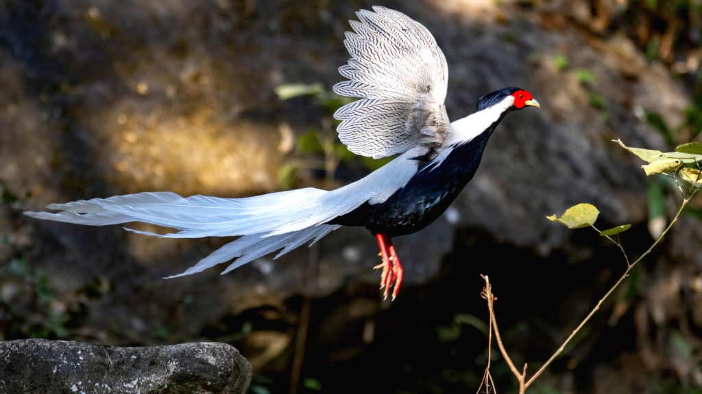 FUZHOU, Nov. 15, 2019 - A silver pheasant flies at the Junzifeng national nature reserve in Mingxi County, southeast China's Fujian Province, Nov. 13, 2019.