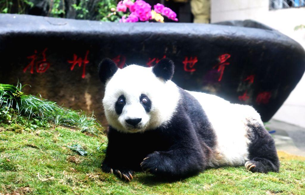 FUZHOU, Sept. 14, 2017 - File photo taken on Jan. 18, 2017 shows giant panda Basi at the Strait Panda Research and Exchange Center in Fuzhou, capital of southeast China's Fujian Province. Basi, the ...