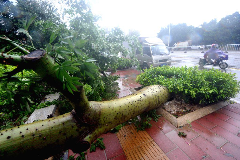 FUZHOU, Sept. 28, 2016 - A tree is blown down in typhoon-hit Fuzhou, capital of southeast China's Fujian Province, Sept. 28, 2016. Typhoon Megi, the 17th typhoon this year, made landfall in Hui'an of ...