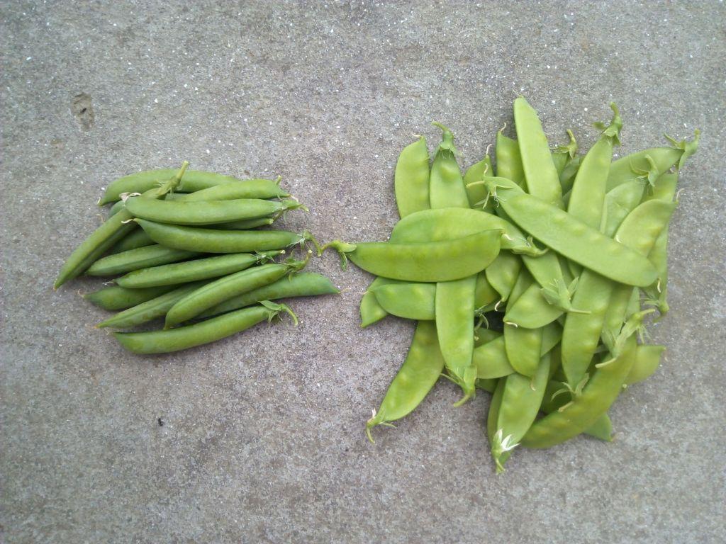 Garden peas Vs Snow peas.