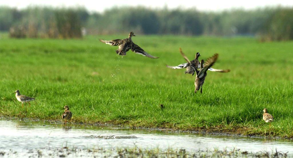 Garganeys at Mangalajodi wetland near Chilika Lake in Odisha on March 6, 2017. (Photo : Arabinda Mahapatra/IANS)