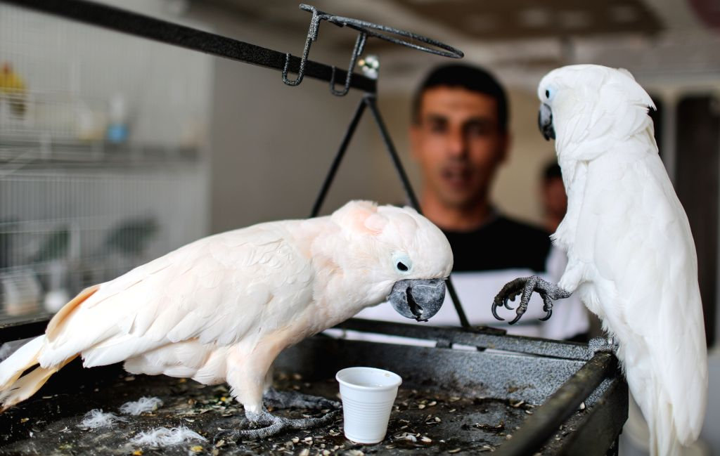 A parrot drinks coffee in Gaza City, on March 10, 2015. Coco and Rico, two parrots of Palestinian bird keeper Ashraf al-aeraar, like to drink coffee at least four ...