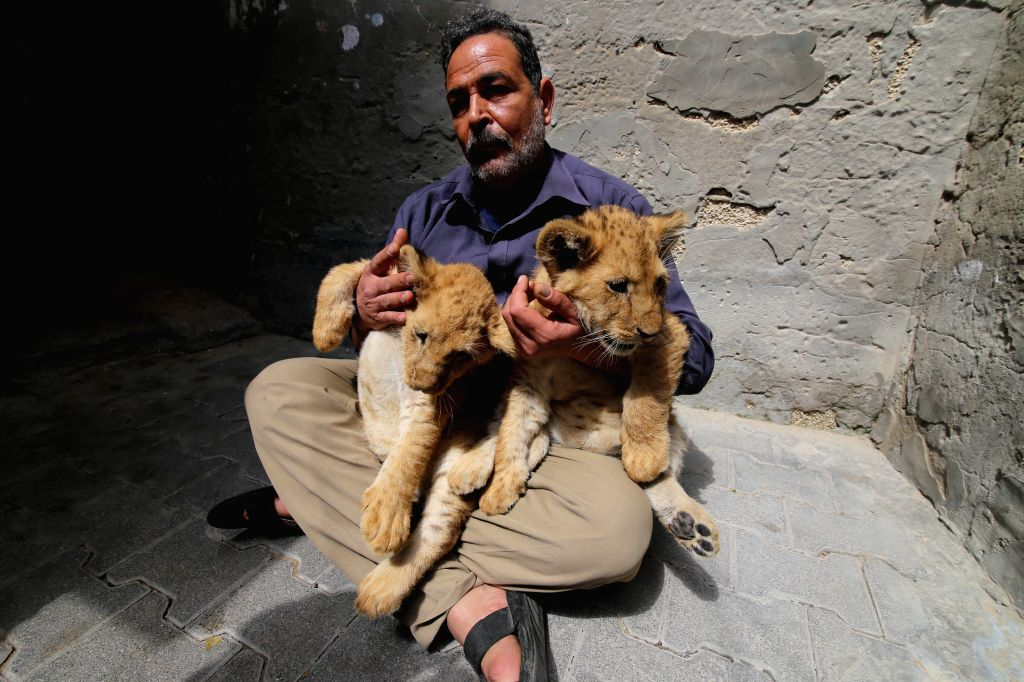 Palestinian Saado al-Jamal plays with his two two-month-old lion cubs inside his house in the southern Gaza Strip city of Rafah, on March. 18, 2015.  Al-Jamal feeds ...