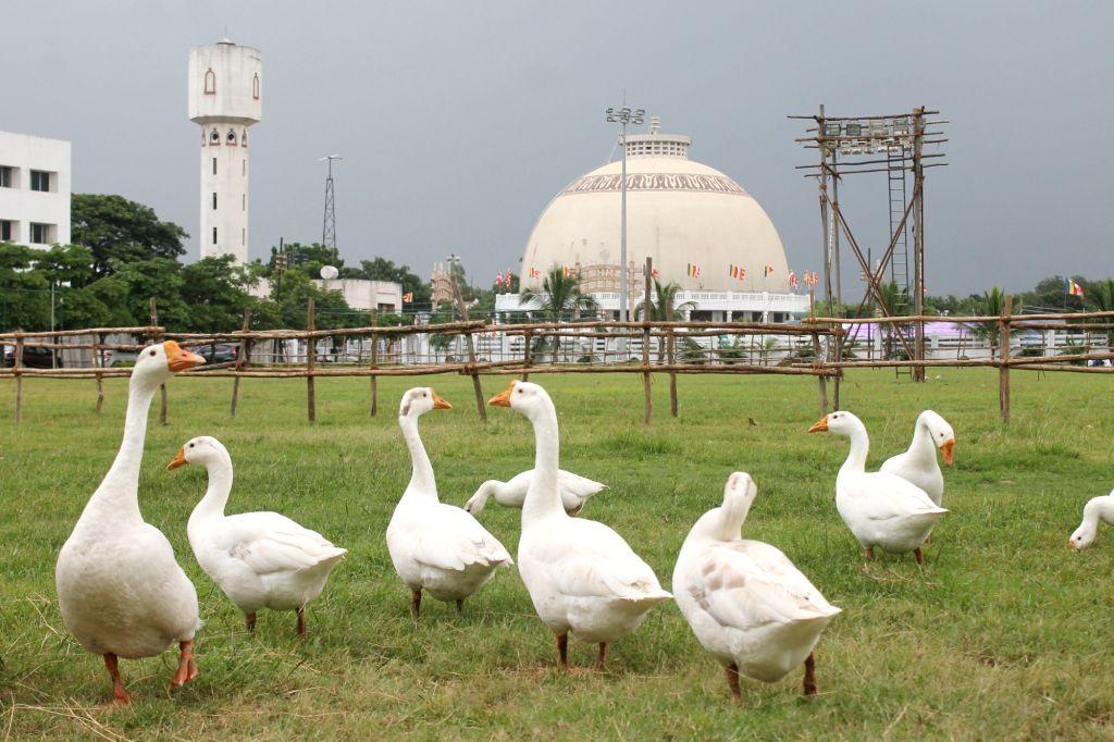 Geese at Deekshabhoomi. (File Photo: IANS)