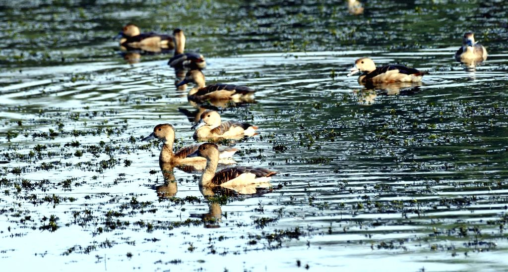 Geese at the old Secretariat pond in Patna, on Dec 2, 2019.