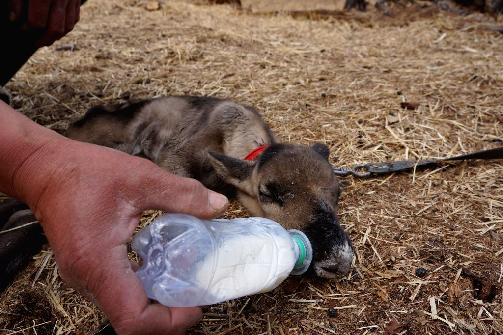 A farmer feeds a baby reindeer at a farm in Aoluguya town of Genhe City, north China's Inner Mongolia Autonomous Region, May 9, 2014. Aoluguya township of the Ewenki ..