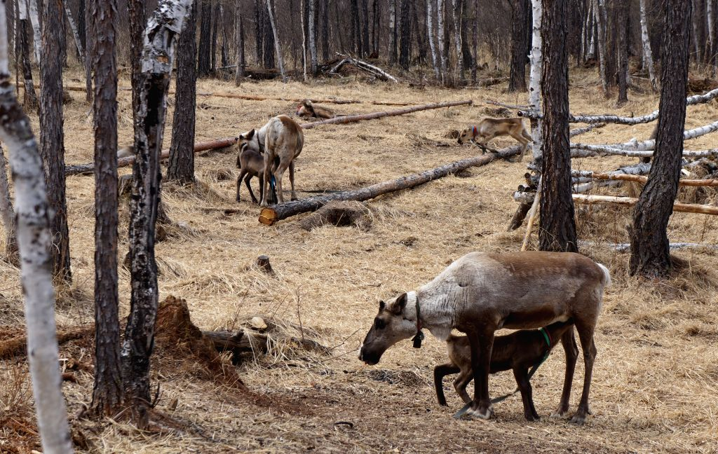 Reindeers fed by Ewenki people are seen at a farm in Aoluguya town of Genhe City, north China's Inner Mongolia Autonomous Region, May 9, 2014. Aoluguya township of ...