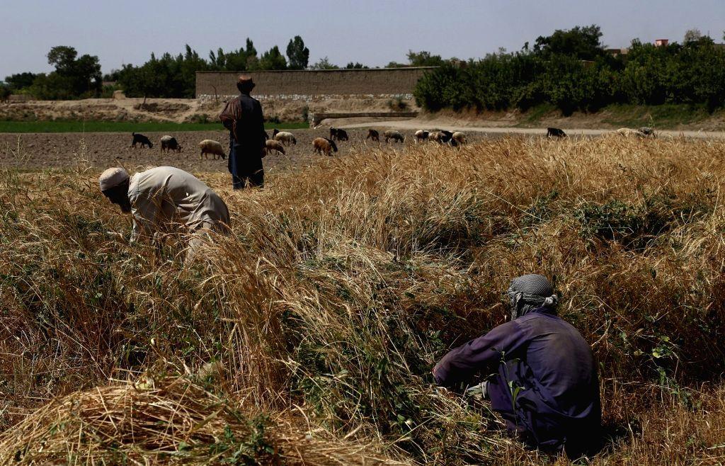 GHAZNI, July 24, 2018 - Farmers work at a wheat field in Ghazni province, eastern Afghanistan, July 24, 2018.