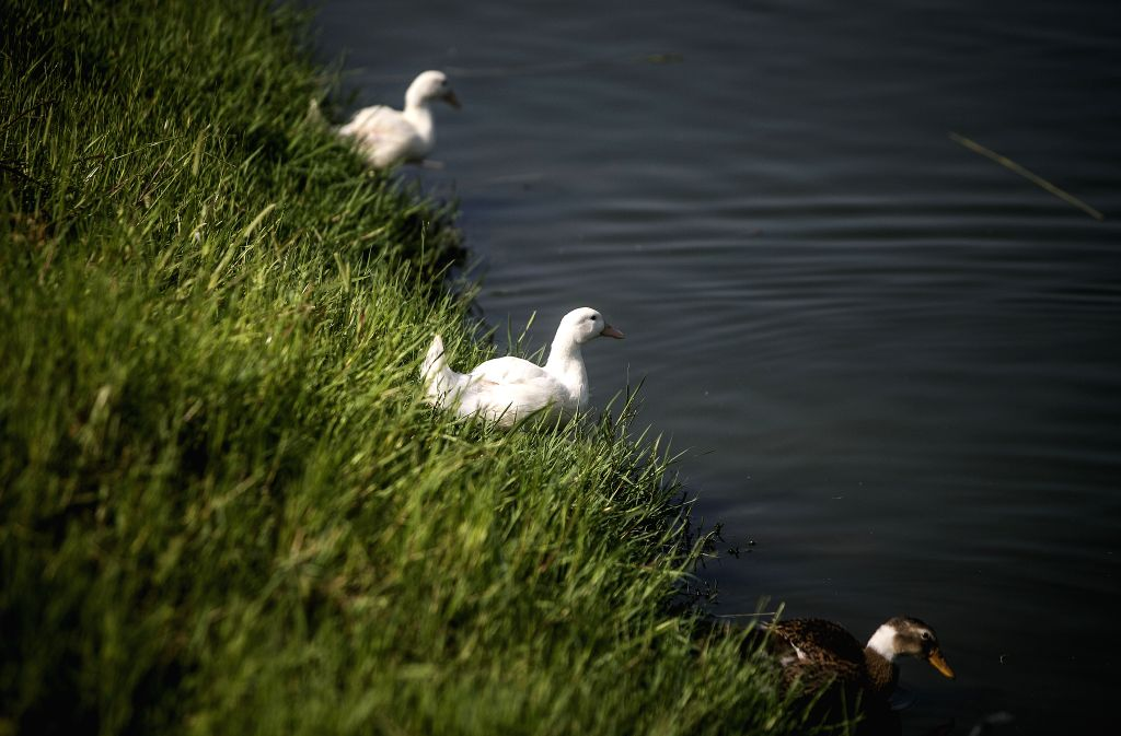 GILAN PROVINCE, Aug. 6, 2019 - Ducks rest near a pond in Gilan province, northern Iran, on Aug. 5, 2019.