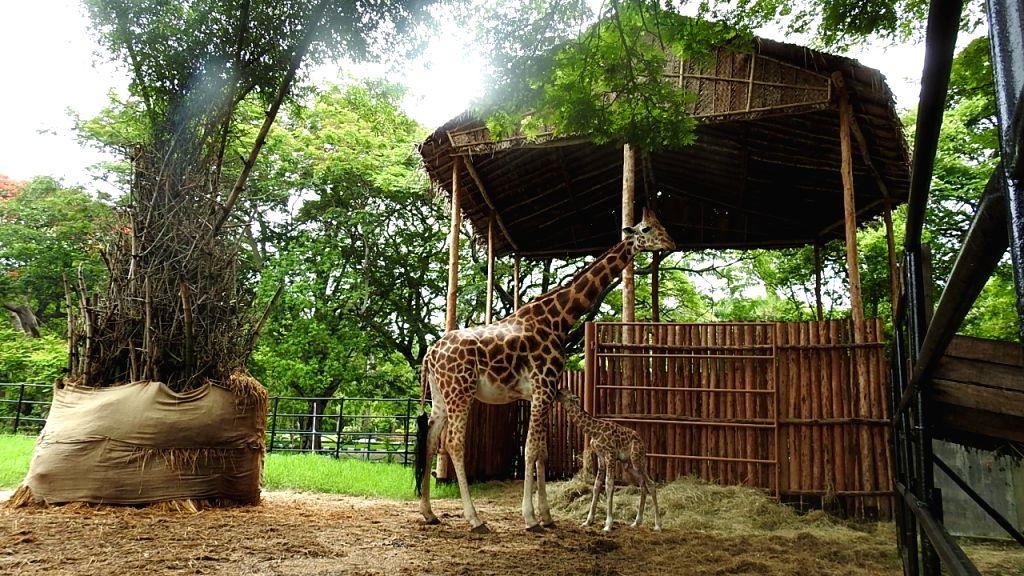 Giraffe Lakshmi gives birth to male calf in Mysuru Zoo in Karnataka