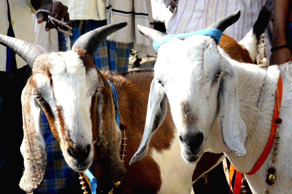 Goats. (File Photo: IANS)
