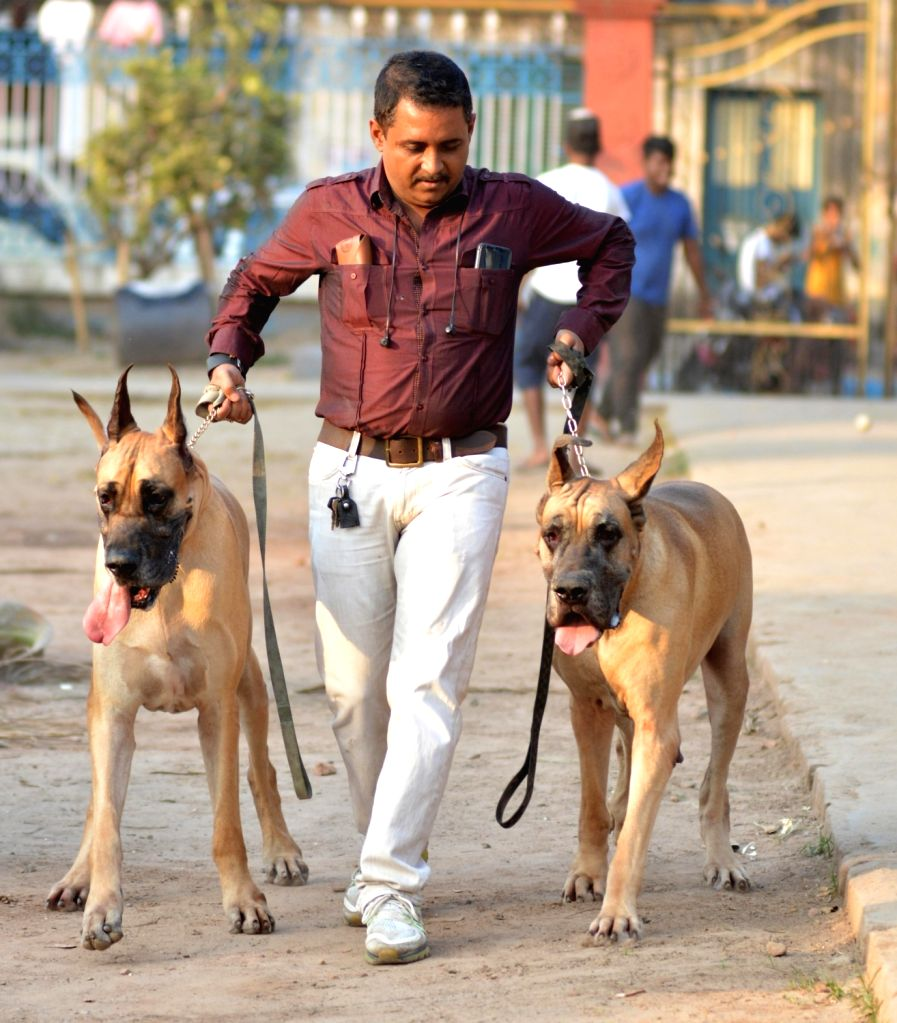 Great Danes seen during a dog show, in Kolkata, on Feb 24, 2019.