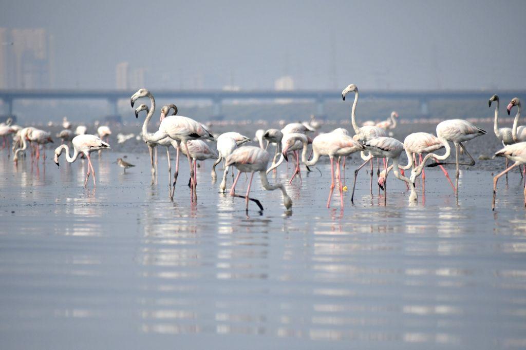 Greater flamingos feedings in thane creek on mumbai side.