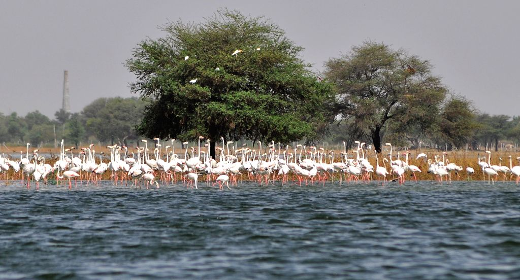 Greater Flamingos seen at Chandlai Lake in Rajasthan on July 9, 2014. The birds come here from places as far as Point Calimere in Tamil Nadu.
