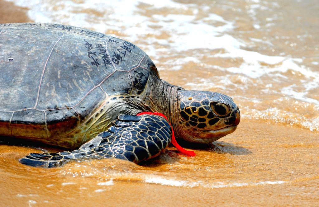 Green turtles are more likely to swallow plastic that resembles their natural diet of sea grass, new research suggests. (Xinhua/Wei Peiquan) (lfj)