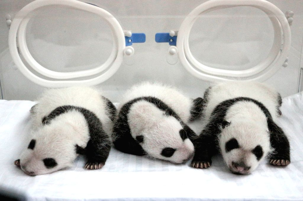 Three newborn giant panda triplets rest in an incubator at the Chimelong Safari Park in Guangzhou, capital of south China's Guangdong Province, Aug. 27, 2014, the