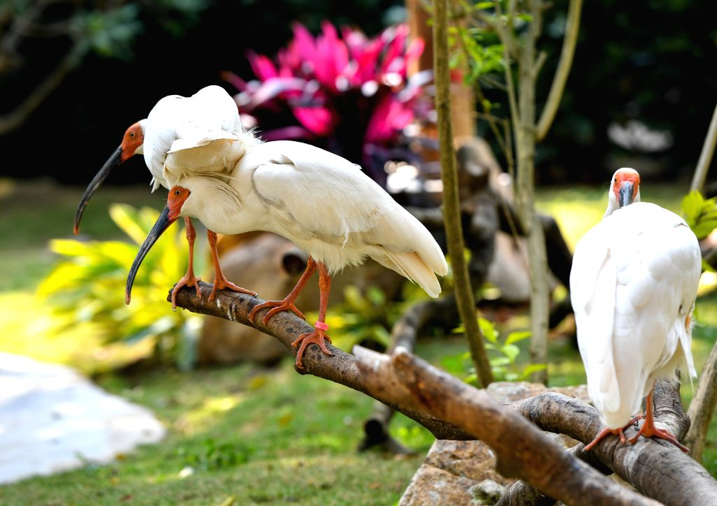 GUANGZHOU, Jan. 27, 2019 - Crested ibises are seen at the Chimelong Birds Park in Guangzhou, south China's Guangdong Province, Jan. 26, 2019. A total of 150 crested ibises, a bird once thought to be ...