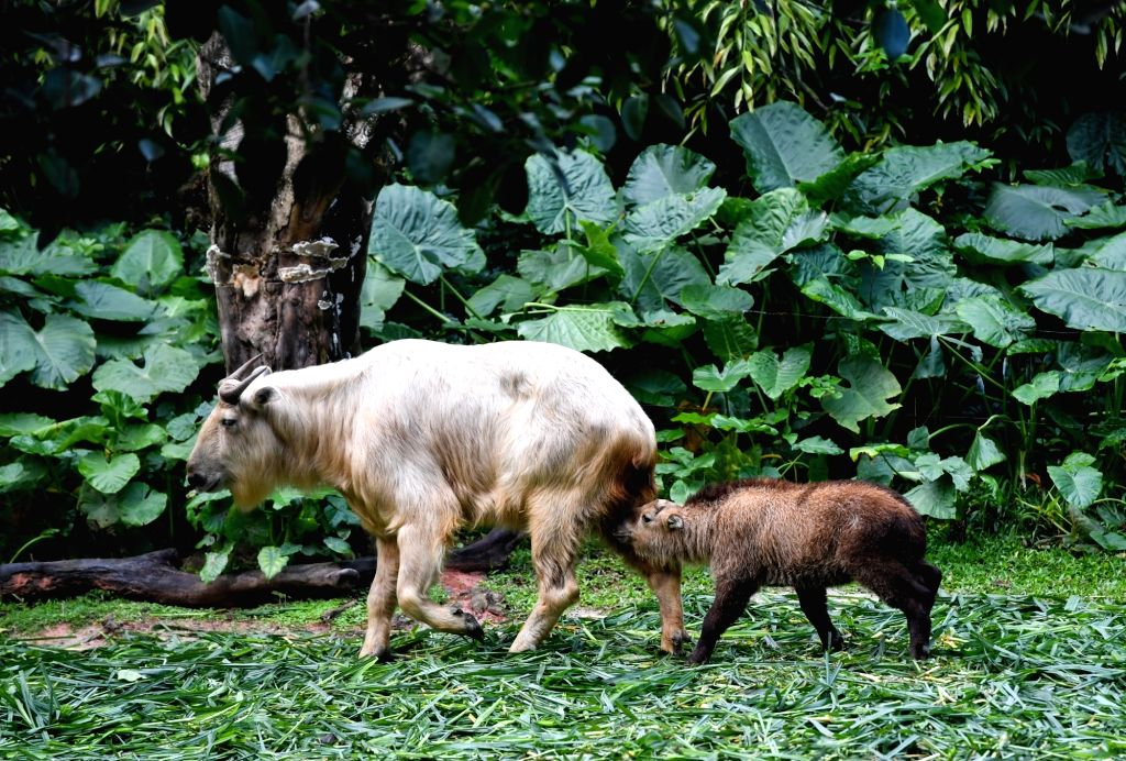 GUANGZHOU, March 11, 2019 - A golden takin (budorcas taxicolor) baby is seen at Chimelong Safari Park in Guangzhou, capital of south China's Guangdong Province, March 11, 2019. Seven golden takin ...