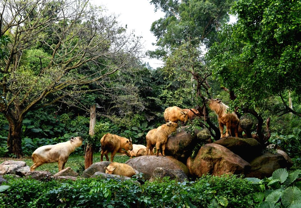 GUANGZHOU, March 11, 2019 - A herd of golden takins (budorcas taxicolor) are seen at Chimelong Safari Park in Guangzhou, capital of south China's Guangdong Province, March 11, 2019. Seven golden ...