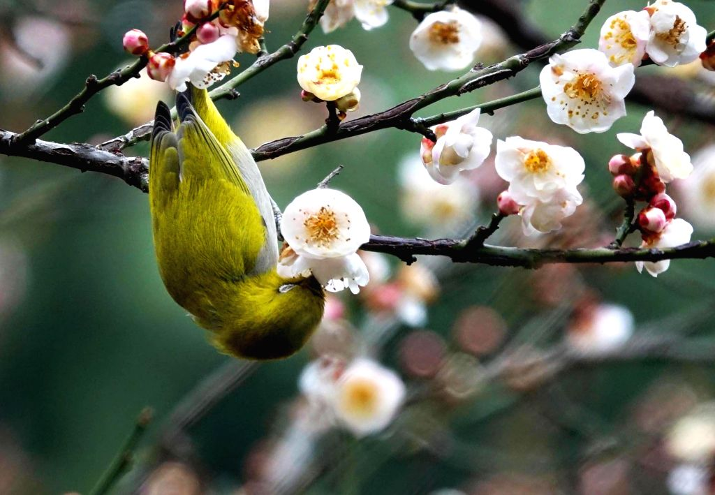 GUIYANG, Jan. 9, 2019 - A wild bird rests on a branch of a blossoming plum tree in Guiyang, capital of southwest China's Guizhou Province, on Jan. 9, 2019.