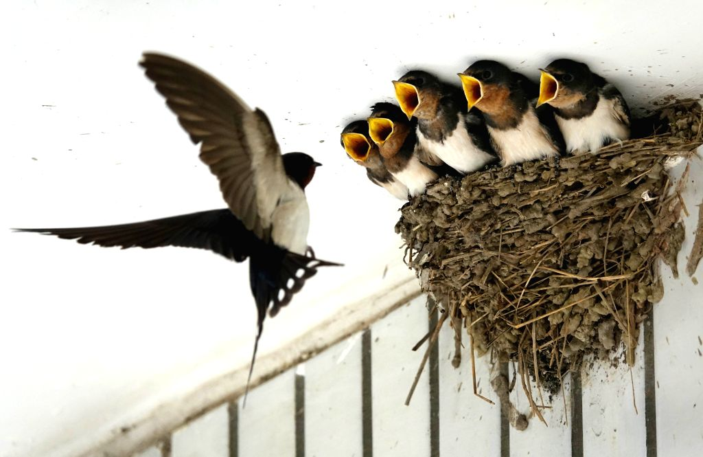 GUIYANG, May 24, 2018 - A swallow feeds young swallows under the eaves of a farmer's house in Dongfeng Town of Guiyang, capital of southwest China's Guizhou Province, May 23, 2018.