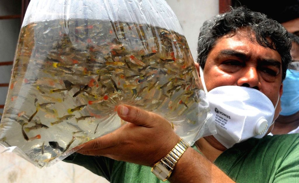Guppy fishes being distributed to the Kolkata Municipal Corporation as a measure to prevent mosquito-borne diseases, in Kolkata on July 4, 2020.