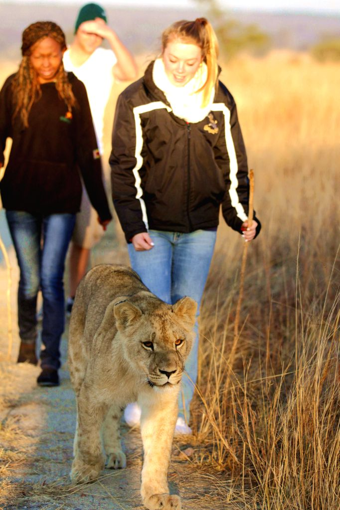 Foreign tourists walk with a lion cub at Antelope Park, in Gweru, Zimbabwe, July 6, 2014. Lion walk was introduced to Antelope Park over a decade ago as part of an ...