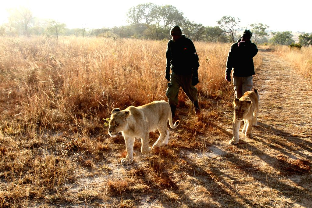 Staff members lead two lion cubs out for a lion walk at Antelope Park, in Gweru, Zimbabwe, July 6, 2014. Lion walk was introduced to Antelope Park over a decade ago as